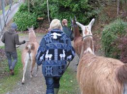 llama-walking